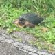 Protecting snapping turtles and other wetland species