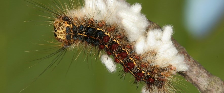 First Gypsy Moth spray scheduled for May 27