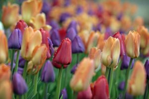 Annual Tulip Bulb Giveaway May 21st, 2021