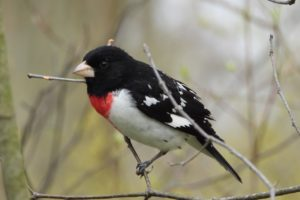 Spring Migration of Birds in the Niagara Region