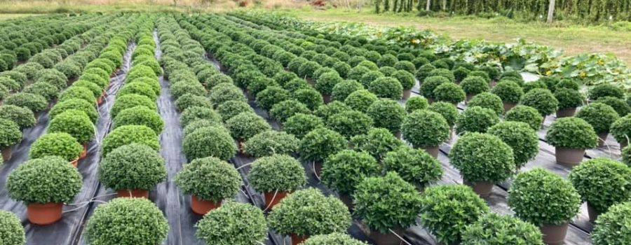 Fall Garden Mums Sale at Niagara College Greenhouse Nursery